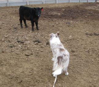 Working calves