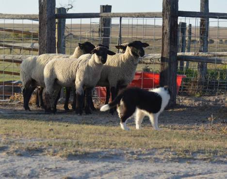 Herding sheep