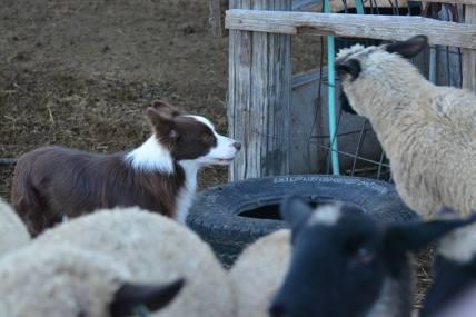 Sheep challange