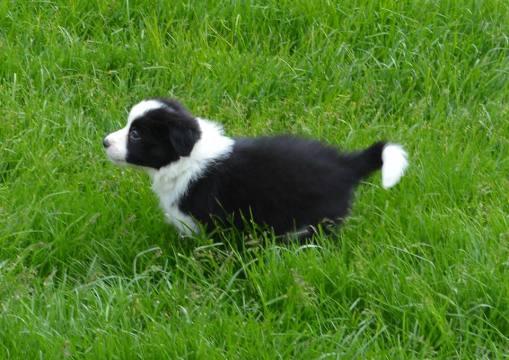 Puppy Indy