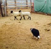 Working sheep