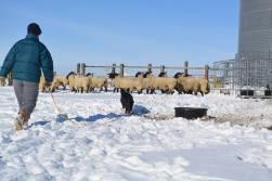 working-sheep